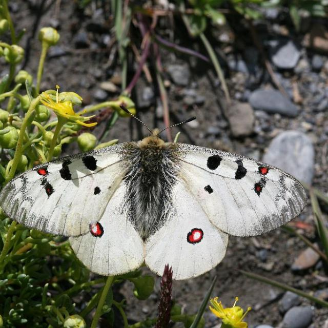 Petit apollon sur sa plante hôte (saxifrage faux aizoon) © Bernard Nicollet - Parc national des Ecrins