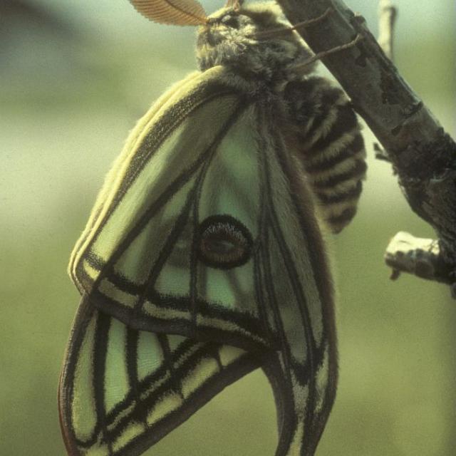 Graellsia isabelae galliaegloria, l'Isabelle de France.  Mâle immédiatement après l'émergence. Les nervures des ailes se remplissent d'hémolymphe pour atteindre leur taille définitive. © Raymond Cocault - Parc national des Ecrins