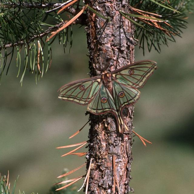 Graellsia isabelae galliaegloria, l'Isabelle de France. Mâle. © Christian Baïsset - Parc national des Ecrins