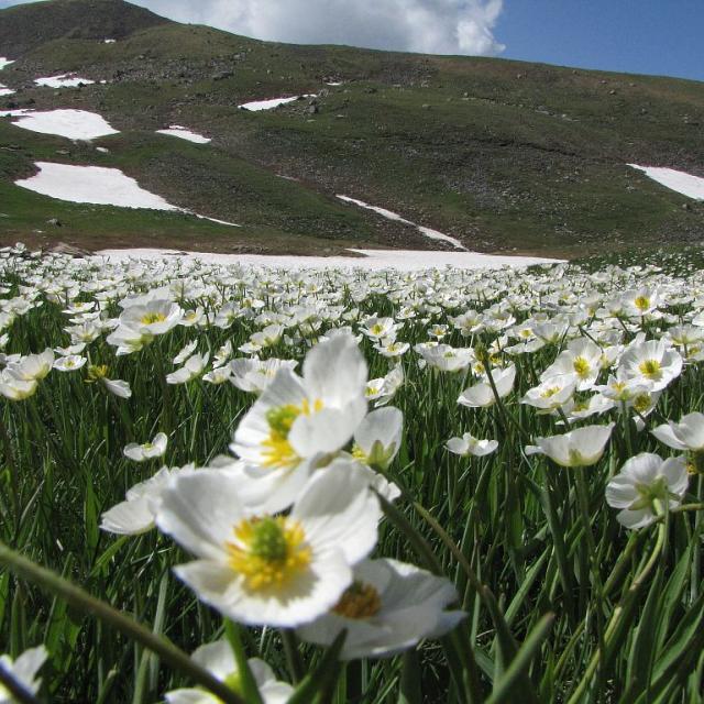 Renoncule des Pyrénées, à la Vivolle © Christophe Albert, Parc national des Ecrins.