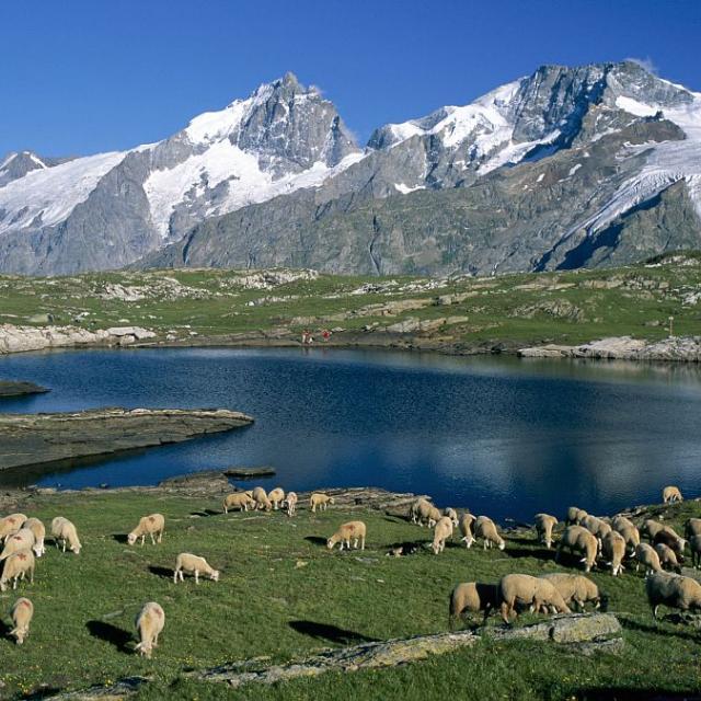 Troupeau sur le plateau d'Emparis, lac noir, Meije et Rateau © Jean-Pierre Nicollet, Parc national des Ecrins.
