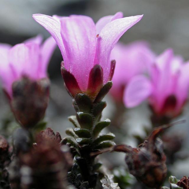 Une fleur typique du Parc National des Ecrins