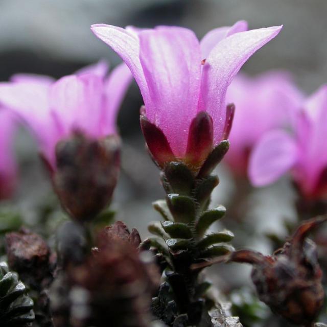 Saxifrage à fleurs opposées ©Christophe Albert - Parc national des Ecrins