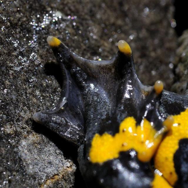 Sonneur à ventre jaune ©Mireille Coulon - Parc national des Ecrins