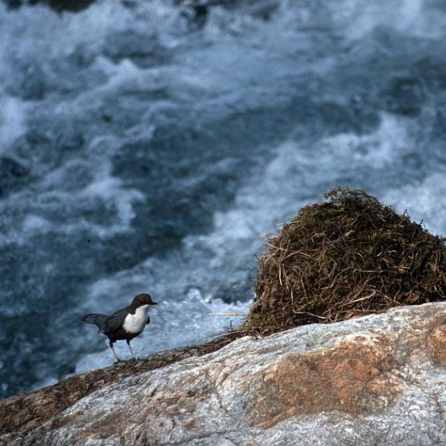 cincle et nid © M.Corail - Parc national des Ecrins
