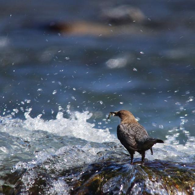 cincle plongeur - © D.Combrisson - Parc national des Ecrins