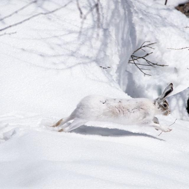 lièvre variable hiver -  Ecole maternelle La Grave - Parc national des Ecrins - projet pédagogique sur le saisons - 2015-2016