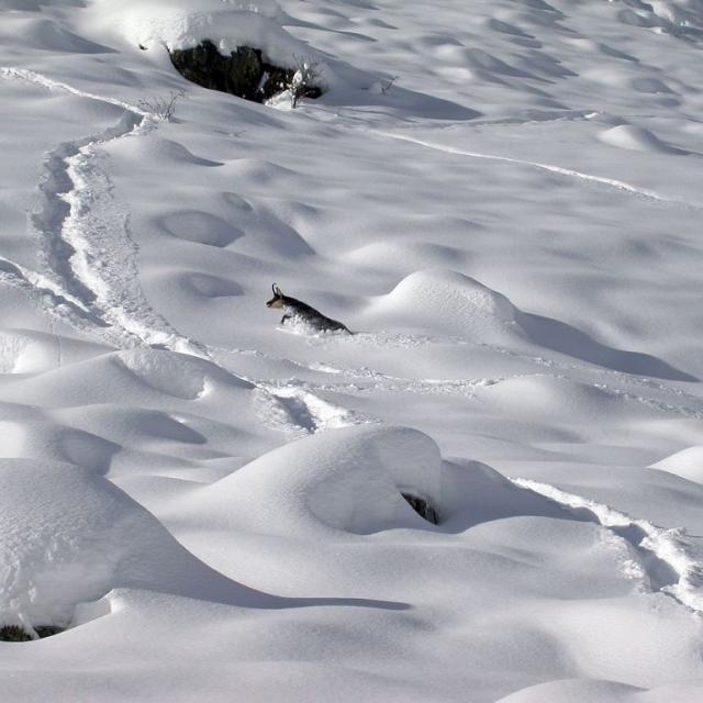 chamois dans la neige - photo  JPTelmon-PNEcrins