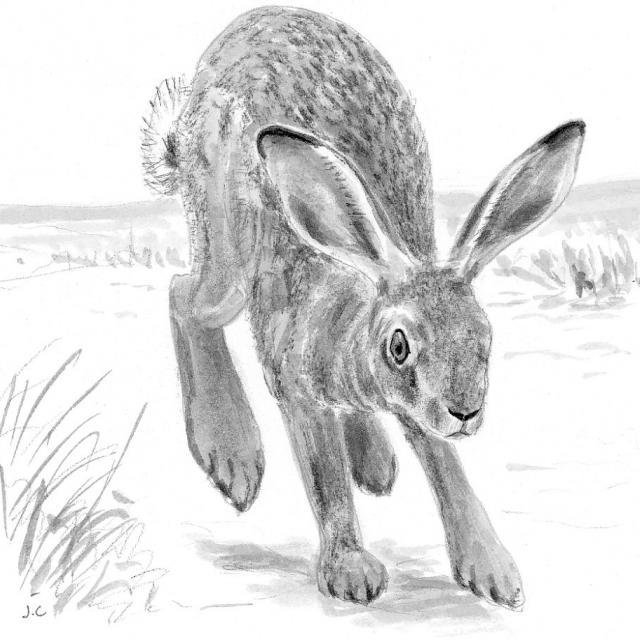 Lièvre commun, dessin Jean Chevalier - PNE -projet pédagogique Freney d'Oisans avec le Parc national des Ecrins - animaux sauvages - 2017-2018