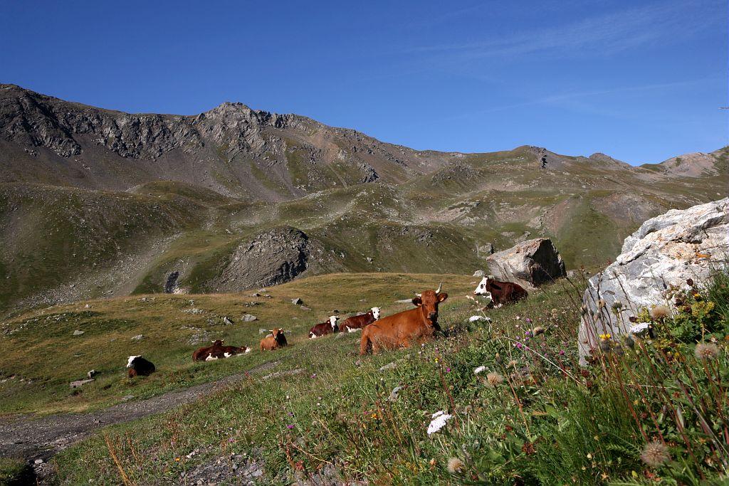 Pastoralisme bovin dans le secteur du Galibier ©Nicollet Bernard - Parc national des Ecrins