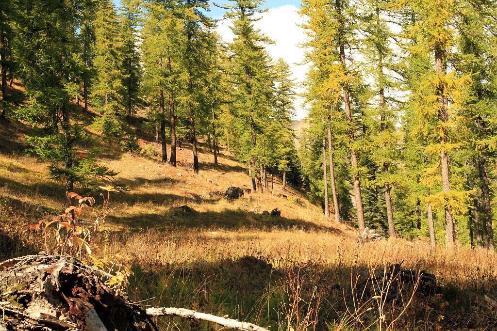 Forêt du Simon de L'Aigle - zone de report de paturage pour la reproduction du tétras lyre © Jean-Philippe Telmon - Parc national des Ecrins