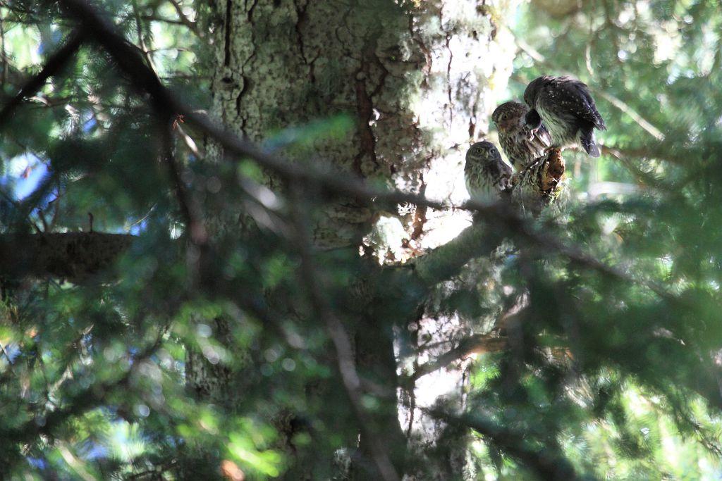 Chevêchette d'Europe - Forêt du Roy - La Motte en Champsaur - Valgaudemar © Marc Corail - Parc national des Ecrins